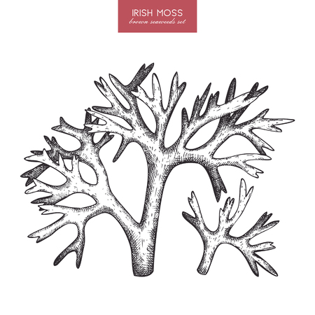 seaweeds: A Vector sketch of hand drawn red seaweeds - carrageen. Underwater natural elements. Vintage sealife illustration of irish moss on white background.
