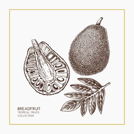 Breadfruit hand drawn