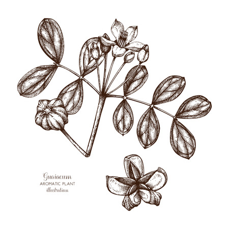 Vector hand drawn illustration of Guaiacum on white background. Aromatic and medicinal plant sketch. Perfumery and cosmetics ingredients. Illustration