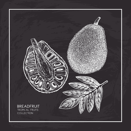Breadfruit hand drawn