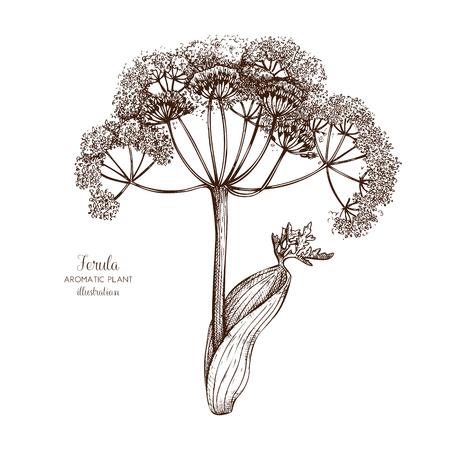 Vector hand drawn of Ferula (Galbanum).