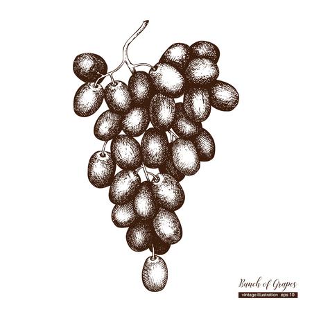 Vector grapes vintage sketch.  イラスト・ベクター素材