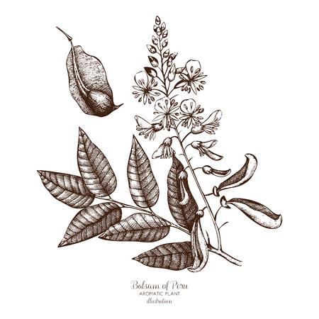 Ilustración de dibujado a mano de vector de bálsamo de Perú sobre fondo blanco. Skecth de plantas aromáticas y medicinales