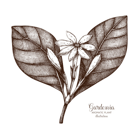 Vector hand drawn illustration of Tahitian Gardenia on white background. Aromatic and medicinal plant sketch. Perfumery and cosmetics ingredients. Tiare Flower.