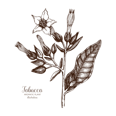Vector hand drawn illustration of Nobacco on white background. Aromatic plant sketch. Perfumery and cosmetics ingredients.