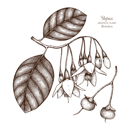 Vector hand drawn illustration of Styrax on white background. Aromatic and medicinal plant sketch. Perfumery and cosmetics ingredients.