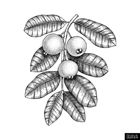 Guava hand drawn
