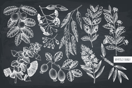 Vector collection of myrtle family plants