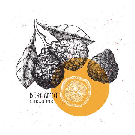 Bergamot vintage design template. Botanical illustration. Engraved Vector drawing. Citrus fruit.