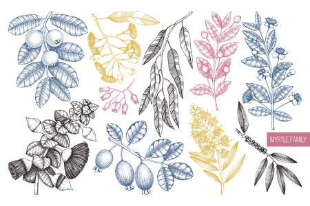 Vector collection of myrtle family plants illustrations. Hand drawn myrtus, tea tree, guava fruit, eucalyptus, feijoa sketches. Essential oils and cosmetics. In color.