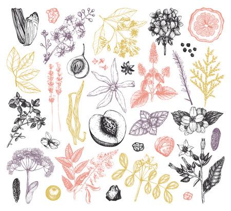 Collection vectorielle de matériaux et ingrédients de parfumerie dessinés à la main. Ensemble vintage de plantes aromatiques, fruits, fleurs, graines, baies, herbes et épices.