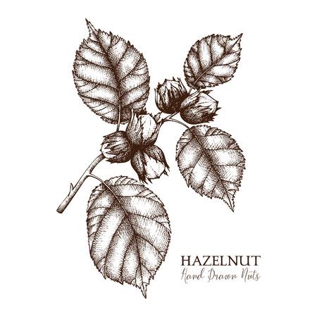 Illustration vectorielle de noisette dessinée à la main. Croquis de noix vintage. Dessin d'aliments biologiques sur fond blanc.