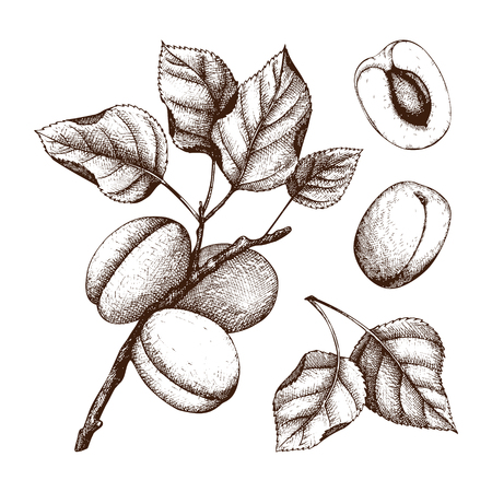 Hand drawn apricot sketch. Vector fruits and leaves isolated on white. Vintage Summer food drawing. Botanical illustration. Vettoriali