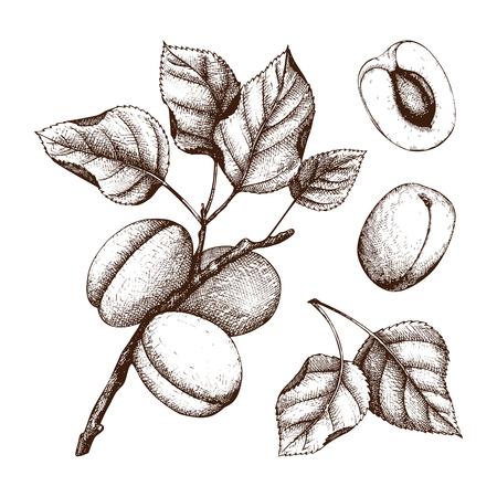 Handgezeichnete Aprikosenskizze. Vektorfrüchte und -blätter getrennt auf Weiß. Vintage Sommer Essen Zeichnung. Botanische Abbildung.