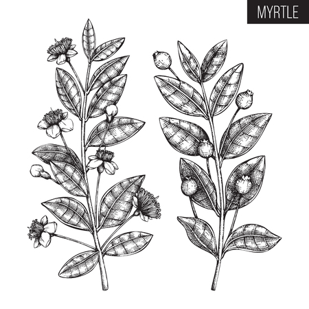 Vintage collection of hand drawn myrtle tree sketches. Cosmetics and medicinal plant vector illustration. Botanical drawings with berries, flowers and leaves. Illustration