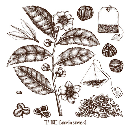 Vector collection of hand drawn Chinese tea plant illustration. Decorative inking background with flowers and leaves. Tonic elements set.