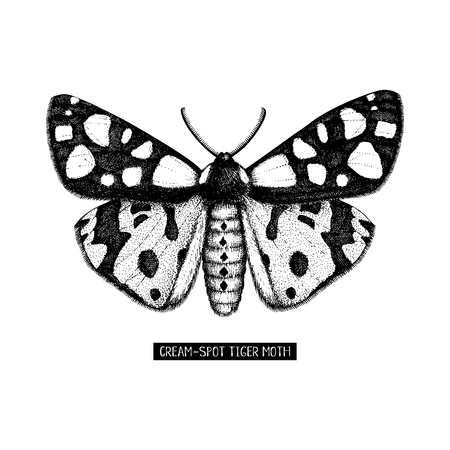 High detailed illustration of cream-spot tiger moth. Hand drawn butterfly sketch. Vintage insect drawing on white background.