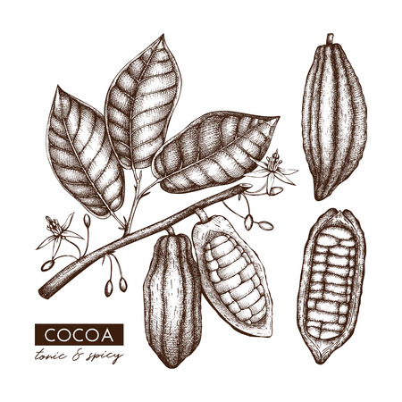 Vector Cocoa beans, leaves, flowers illustration. Hand drawn exotic fruit sketch. Botanical design template. Vintage cacao plant drawing. Vetores