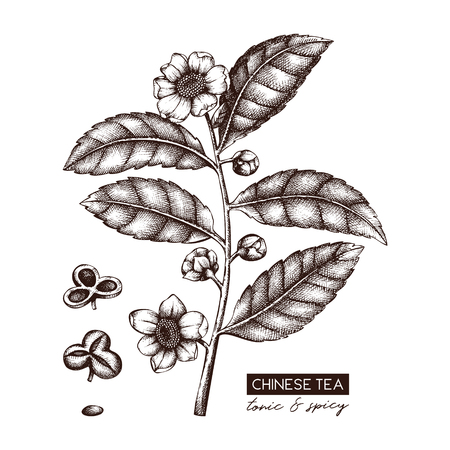 Botanical illustration of Camellia sinensis in flowers and leaves. Vector hand drawn sketch of Chinese tea plant. Aromatic elements collection