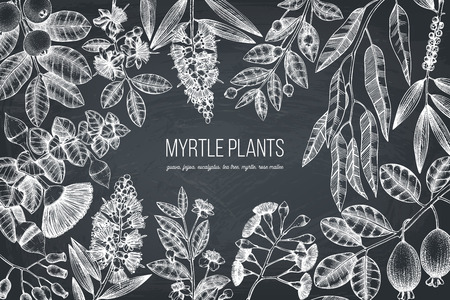 Botanical background with beautiful myrtle plants sketches. Hand drawn feijoa, Eucalyptus, tea tree, guava, myrtus drawings. Flowers chalkboard