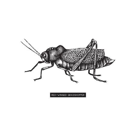 Handgezeichnete rot geflügelte Drasshopper-Zeichnung. Hohe ausführliche Insektenillustration des weißen Hintergrundes. Vektor-Skizze. Vektorgrafik