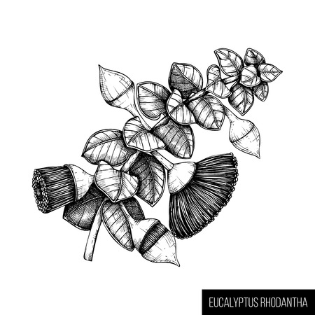 Hand drawn Eucalyptus rhodantha sketch on white background. Cosmetics and medical myrtle family plant. Vector botanical drawings of rose mallee.