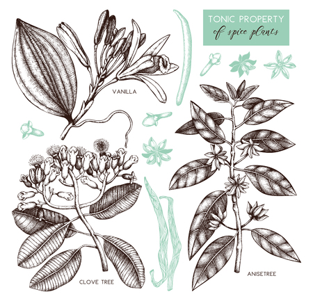 Vector collection of tonic and spicy plants - nutmeg, star anise, clove tree. Hand drawn spices illustrations set. Vintage aromatic elements. Sketched flowers, leaves, seeds, fruits. Vektorgrafik
