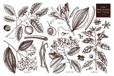 Spice collection. Vintage Hand drawn tonic and spicy ingredients set. Aromatic and kitchen plant.