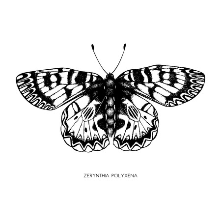High detailed illustration of Zerynthia polyxena. Hand drawn butterfly sketch. Vintage insect drawing on white background.