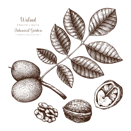 Walnut botanical illustration. Vintage tree sketch on white background. Hand drawn vector nuts.