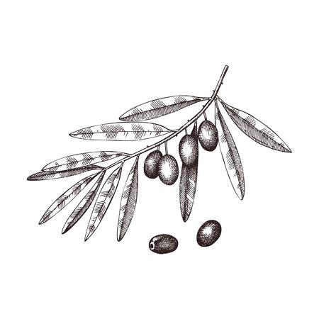 Hand drawn olive branch illustration. Vintage food illustration. Vector olives drawings on white background.