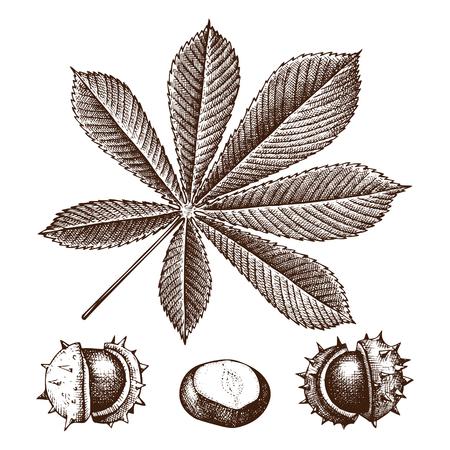 Chestnut botanical illustration. Vector hand drawn leaf and nuts sketch set. Autumn tree drawing.