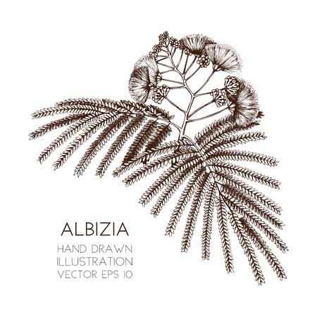 Vektorillustration des Seidenbaums auf weißem Hintergrund. Handgezeichnete tropische Pflanze - Albizia julibrissin Skizze. Botanische Illustration Vektorgrafik
