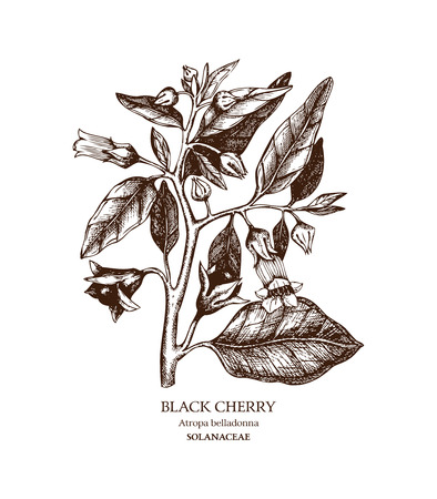 Hand drawn sketch of poisonous plant - Atropa belladonna. Dangerous beautiful flowers Illustration