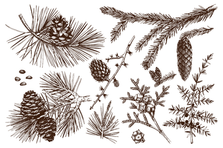 Vector collection of hand drawn botanical conifers illustration. Vintage evergreen plants sketch set. Christmas decoration elements.