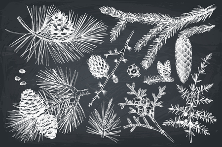 Vector collection of hand drawn botanical conifers illustration. Vintage evergreen plants sketch set. Christmas decoration elements on chalkboard