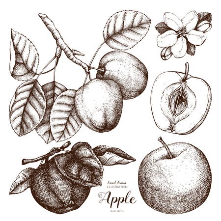 Vector collection of hand drawn apple illustration. Vintage set of fruits sketch on white. Botanical garden drawing.