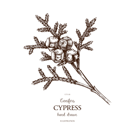 Vintage Cypress illustration. Hand drawn Cypress sketch on white background. Vector conifer tree. Ilustração