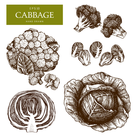 Hand drawn cabbage sketch collection with leaves and head. Organic food illustration. Vintage vegetables set isolated on white. Farm fresh and locally grown products. Çizim