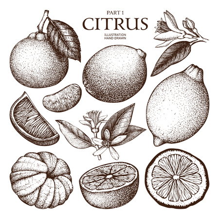 Vintage Ink hand drawn collection of citrus fruits sketch. Vector illustration of highly detailed citrus fruits in pastel colors.