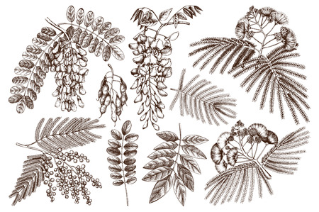 Vector collection of hand drawn blossomed Fabaceae plants. Vintage illustration on black, Silver wattle, Albizia, Black background.