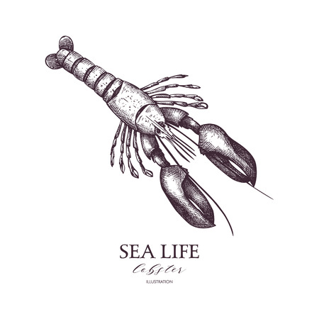 Vector Sea life illustration. Hand drawn Lobster sketch. Isolated on white. Illustration