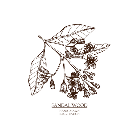 Vector hand drawn illustration of Sandalwood. Vintage Perfumery and cosmetics materials sketch.