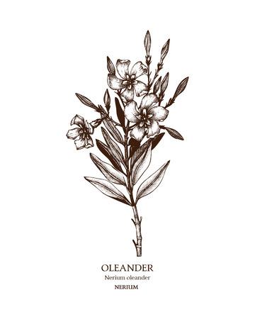 Vintage Hand drawn sketch of poisonous plant - Nerium oleander.