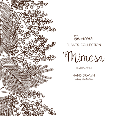 Vector card or invitation design with hand drawn Mimosa flowers. Vintage frame with silver wattle sketch on white background. Floral wedding or womens day template. The 8 of March  イラスト・ベクター素材