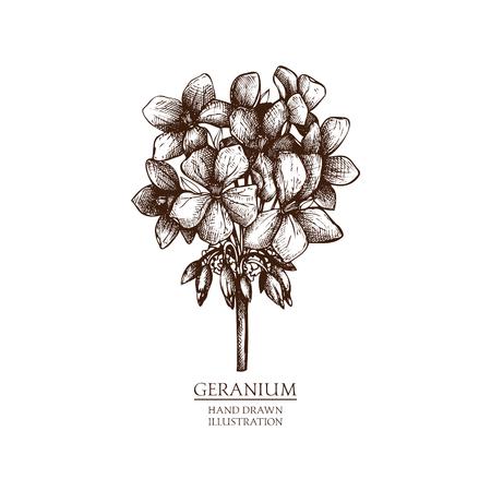 Vector hand drawn illustration of geranium. Vintage Perfumery and cosmetics materials sketch.