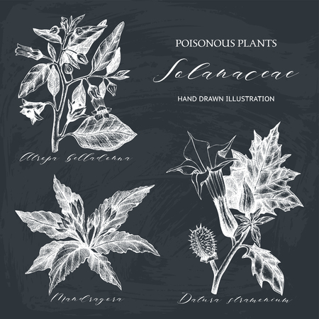 Nightshade family plants illustration - Angel's trumpet, Belladonna and Mandrake. Poisonous flowers set isolated on chalk