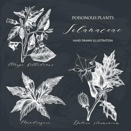 Nightshade family plants illustration - Angels trumpet, Belladonna and Mandrake. Poisonous flowers set isolated on chalk Illustration
