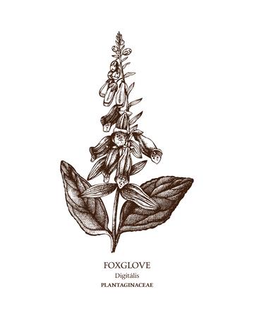 Hand drawn sketch of poisonous plant - Digitalis purpurea. Illustration