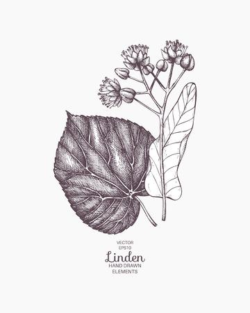 Illustrazione di tiglio disegnata a mano di vettore. Schizzo di fiori di tiglio vintage. Disegno botanico Vettoriali